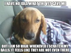 I have no idea what the vet gave me but i am so high: whenever i scratch my balls, it feels like they are not even there(Vet Tech) Veterinary Memes, Veterinary Medicine, Veterinarian Quotes, Veterinary Technician, Veterinarian Office, Funny Dachshund, Funny Dogs, Funny Animals, Vet Assistant