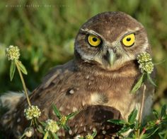 Florida Burrowing Owlet Susan Faulkner Davis Photography via The Owl Pages on FB