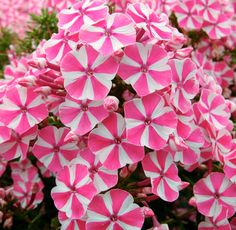 This unique Phlox is guaranteed to create an eye-catching display in your summer garden. A prolific number of pink flowers with distinctive white stripes will be produced on long stems from Peppermint Twist grows to a dwarf height of making Plants, Plant Supplies, Pink Flowers, Pink Perennials, Flag Pole Landscaping, Perennials, Trees To Plant, Flowers, Small Yard Landscaping