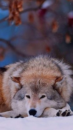 I love wolves because they have such a balance between aggression & affection