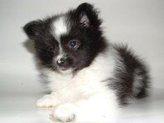 cute black and white pomeranian puppy