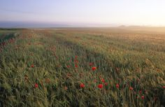 Dreamy Fields of Poppies - Fototapeter & Tapeter - Photowall