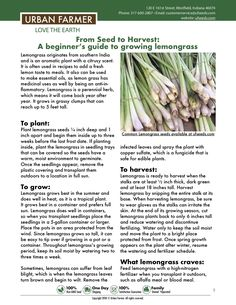 Learn to grow lemongrass from seed to harvest. The growing guide is for beginners to advanced gardeners. Growing lemongrass from seed is easy and delicious. Growing Green Beans, Growing Greens, Growing Herbs, Growing Vegetables, Garden Seeds, Garden Plants, Herb Garden, Grow Lemongrass, Urban Farmer