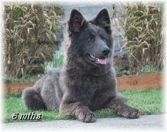 The German Shepherd Dog - Blue Coat