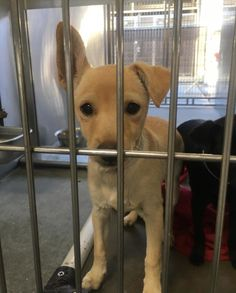 Meet Sam, an adopted Chihuahua & Australian Kelpie Mix Dog, from Dogs Without Borders in Los Angeles, CA on Petfinder. Learn more about Sam today. Rescue Puppies, Chihuahua, Adoption, Dogs, Animals, Animales, Animaux, Pet Dogs, Animal