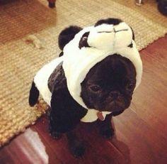 Pug panda