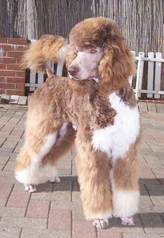 Brown and white Poodle (abstract or parti pattern depending on the amount of white)
