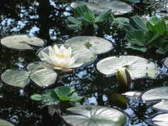 White Hardy Water Lily