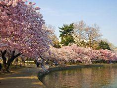 flores-sakura-en-japon