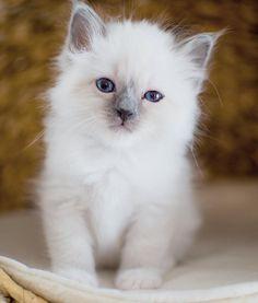 Lejonet & Björnen #minimazarinerna2017 #birma #birman #breeder #catsofinstagram #chokladochvanilj #kitten #pinkalicious #welovecats #we_love_cats #topcatphoto #happycatclub #excellent_cats #excellent_kittens #bestcats_oftheworld #birman_cats_lovers #birman_feature #birmancat #birmavanner