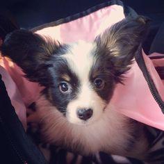 Benson <3 papillon puppy.