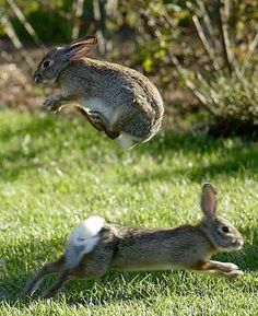 There are many strange and interesting rabbit facts, some may even surprise experienced rabbit owners Nature Animals, Animals And Pets, Baby Animals, Funny Animals, Cute Animals, Wild Animals, Wild Rabbit, Bunny Rabbit, Bunny Jump