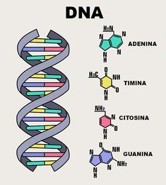 Icon of the structure of the DNA molecule. Spiral Deoxyribonucleic acid (DNA) with formula and description of components: cytosine, guanine, adenine, thymine, nitrogenous base of DNA. Study Biology, Biology Lessons, Teaching Biology, Study Organization, School Organization Notes, School Notes, Medicine Notes, Medicine Student, School Study Tips