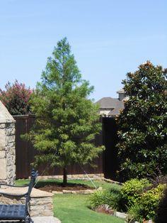 Bald Cypress Tree Available At Treeland Nursery In Gunter Tx Very Fast