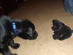 Coalbee and friend, black lab puppy