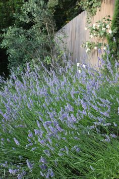 So miss the lavender plant I had in England. Have to be content with dried flower heads nowadays.