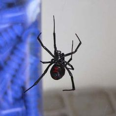 The Black Widow Spider is know as one of the 9 Deadliest Wildlife Home Invaders according to This Old House.  photo: Ken Thomas