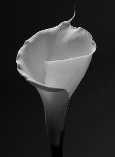 Calla Lily by Robert Mapplethorpe Black And White Portraits, Black White Photos, Black And White Photography, Flower Images, Flower Photos, Robert Mapplethorpe Photography, Just Kids, Patti Smith, Celebrity Portraits