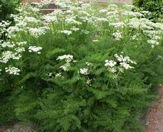 Меум атамантовый Meum athamanticum Меум атамантовый (Meum athamanticum)Многолетнее травянистое растение высотой около 40 см. Образует кустики из темно-зеленых ажурных листьев, напоминающих зелень хвощей. Цветоносные стебли прямые, облиственные, до 50 см высотой. Соцветия – зонтики, собранные из мелких белых или розовых цветков. Цветет в середине лета.