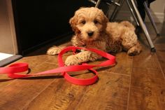 Cheddar! The cutest golden doodle in all the land <3
