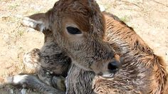 Newborn calf dumped still wet with afterbirth rescued - YouTube