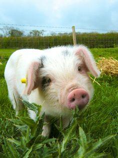 1 Farm Animals Photography Pig Printable Farm Animals Photography Pig Geeeeeeeeeeee - Top Of The World Cute Baby Pigs, Cute Piggies, Baby Piglets, Animals And Pets, Funny Animals, Cute Animals, Baby Farm Animals, Nocturnal Animals, Photo Animaliere