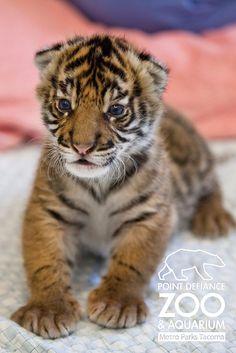 Endangered Sumatran tiger cub