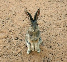 Desert cottontail (Sylvilagus audubonii): prefer brushlands and woodland-edge situations, but occur throughout the open grasslands where they use burrows excavated by other mammals;  in semi-desert shrublands: feed on sagebrush and rabbitbrush in winter; feed on the understory of grasses and forbs in the Pinon-juniper woodlands