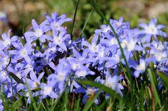 Blaustern (Scilla amoena)