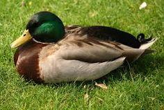 mallard duck - Google Search