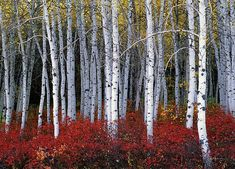 Aspen forest in autumn, gorgeous red and gold color against the white tree trunks.