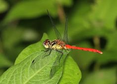 Hime-akane (japanese name) /  Sympetrum parvulum (scientific name)