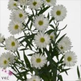 Ast Linda Db White Aster September Whole Flowers