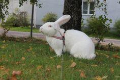 Our 2 year old Ruby eyed white flemish giant rabbit