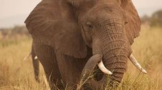 A Zombie Gene Protects Elephants From Cancer | Quanta Magazine