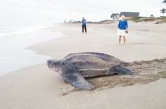 tortuga Gigante es captada queriendo volver al mar y es impresionante