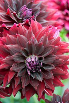 Dahlia 'La Recoleta' Beautiful gorgeous pretty flowers