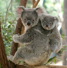 Best Places to See Baby Animals - Head to these hiking trails, beaches, and wildlife refuges for the opportunity to meet baby koalas, turtles, and other newborns. From July 2012 By Lanee Lee