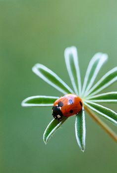 Ladybird on Lupin Foliage, Jonathan Buckley