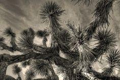 Joshua Tree, photo credit Jack Lankhorst @ pureFotography.blogspot.com