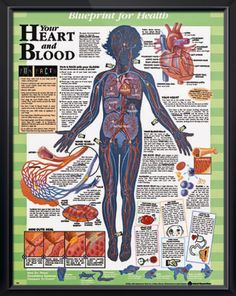 Blueprints for Health Set anatomy poster these laminated posters encourage children to learn about their bodies in a fun and interactive way!