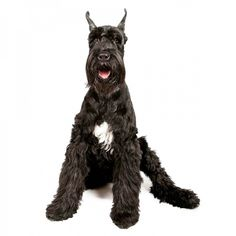 Puppies for Sale (near me) - Find your puppy | VIP Puppies Giant Schnauzer For Sale, Giant Schnauzer Breeders, Schnauzer Puppy, Miniature Schnauzer, Husky Puppy, Cute Puppies For Sale, Dogs For Sale, Cheap Puppies, Giant Dog Breeds