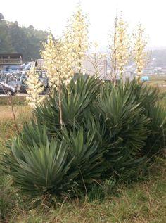 Yucca gloriosa - Pálmaliliom