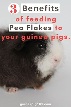 Benefits of feeding pea flakes   what precautions you need to take I how to care for pet guinea pigs I pet baby guinea pig care I small animal care I guinea pig information I information on pet guinea pigs I what to do with pet guinea pigs I things to know about pet guinea pigs I pet guinea pig tips I care tips for pet guinea pigs I small pet homes I guinea pig cages I #guineapigpeaflakes  #guineapigs #smallpets Baby Guinea Pigs, Guinea Pig Care, Guinea Pig Information, Pigs Eating, Pet Home, Flakes, Benefit, Pets