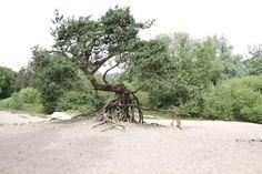 Deze bijzondere boom staat in het Lutterzand. Ons restaurant ligt aan de rand van het natuurgebied. Tevens heeft deze boom model gestaan voor ons logo. www.lutterzand.nl