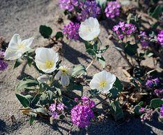 Desert Evening Primrose - Oenothera Californica (the white one) (native)