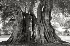 She told MailOnline Travel: 'There are so many aspects of trees that I find intriguing, I am learning all the time. Many have very compelling stories/histories and they are ingenious at finding ways to survive in dire conditions'