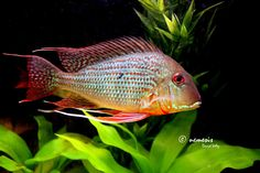 Geophagus surinamensis 45 gallon - Google Search