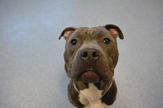 Griffin - located at ISLIP ANIMAL SHELTER AND ADOPT-A-PET CENTER in Bay Shore, NY - 4 year old Male Am. Staffordshire Terrier - He is on the calmer side but still enjoys playing with squeaky and stuffed toys. He knows his sit command so far. He tested well with cats but would prefer to be the only dog in the home.