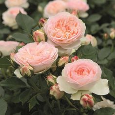 'Pastella' * - Tantau (2004) - ADR 2007. Lage bossige heesterroos. De vele bloemboeketten zijn merkwaardig regenresistent, de struik is krachtig en gezond en kan de concurrentie met vaste planten makkelijk aan. Ideaal voor de gemengde border. Geurend. Goede doorbloeier. Volledig ziekteresistent. H 50/80 cm.